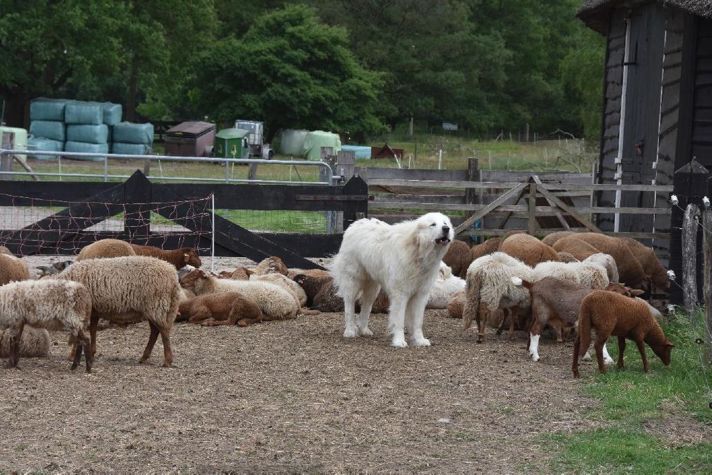 Een kuddewaakhond bij een schapenhouderij