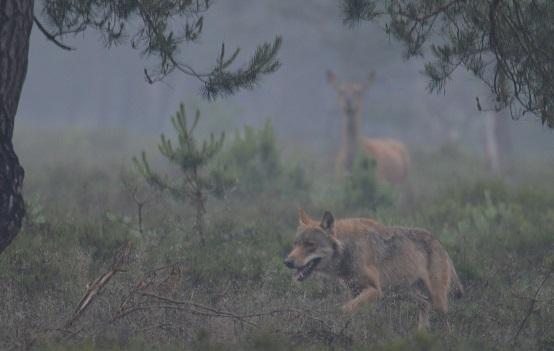 Wolf op de Veluwe. @ Robin Preijer