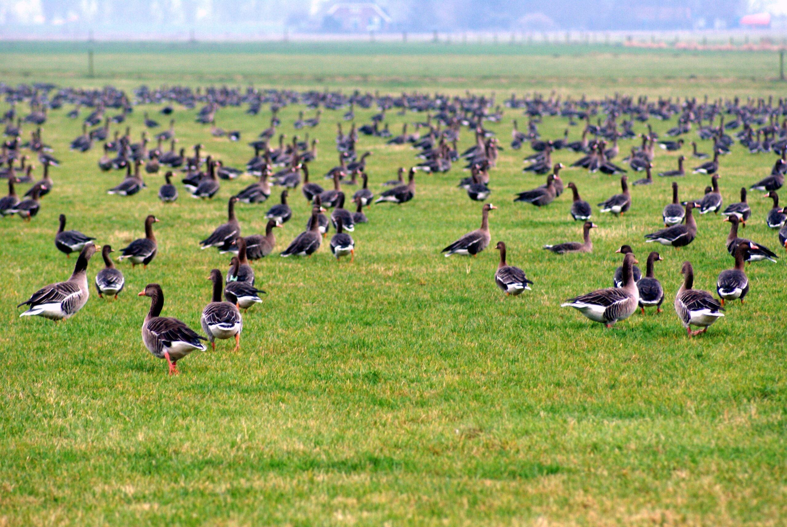 Grauwe ganzen en kolganzen in het grasland