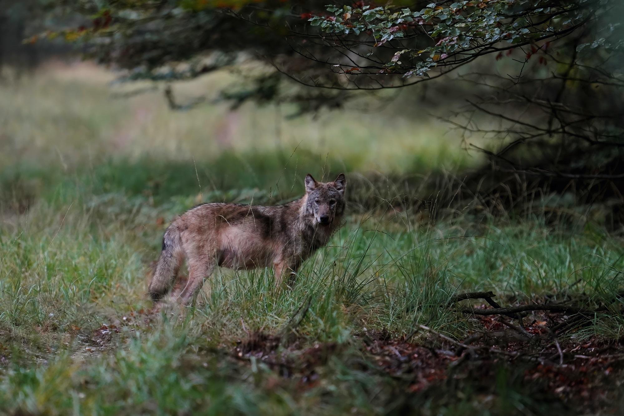 Wolf op de Veluwe - door Otto Jelsma