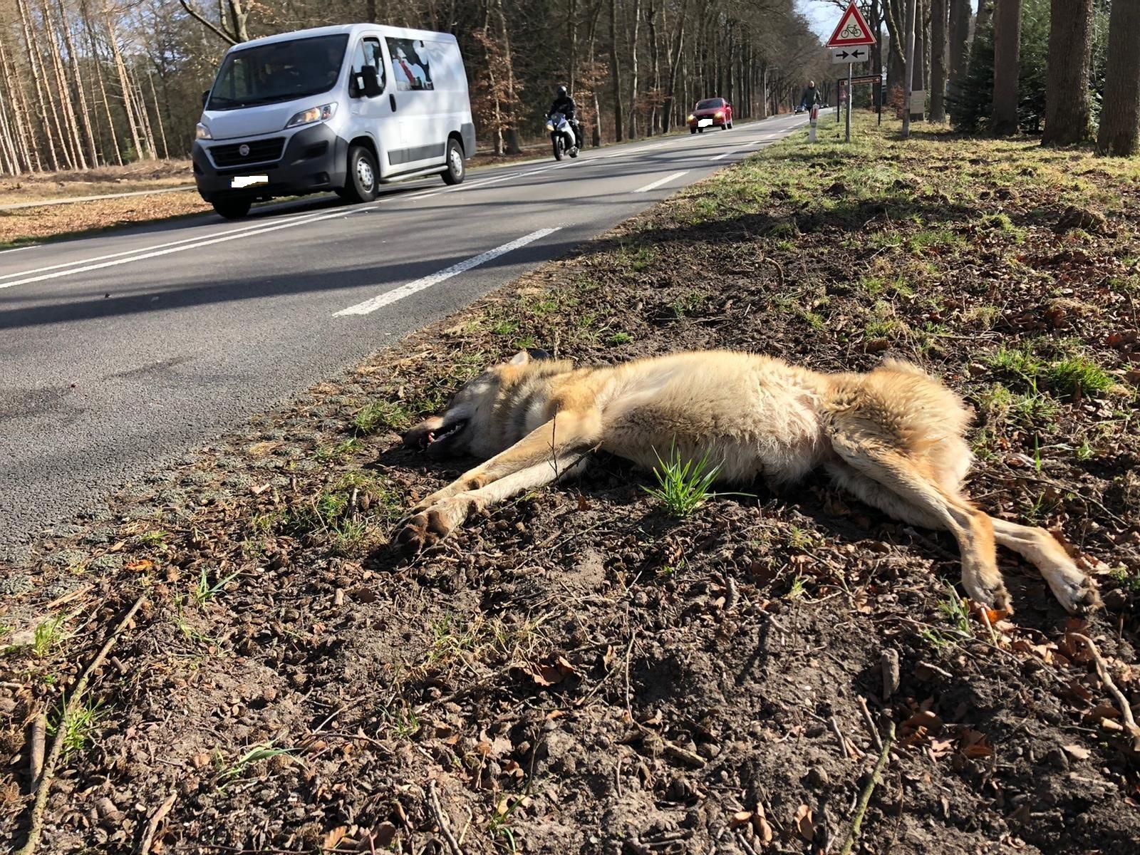 De aangereden, dode wolf langs de N224 in Ede