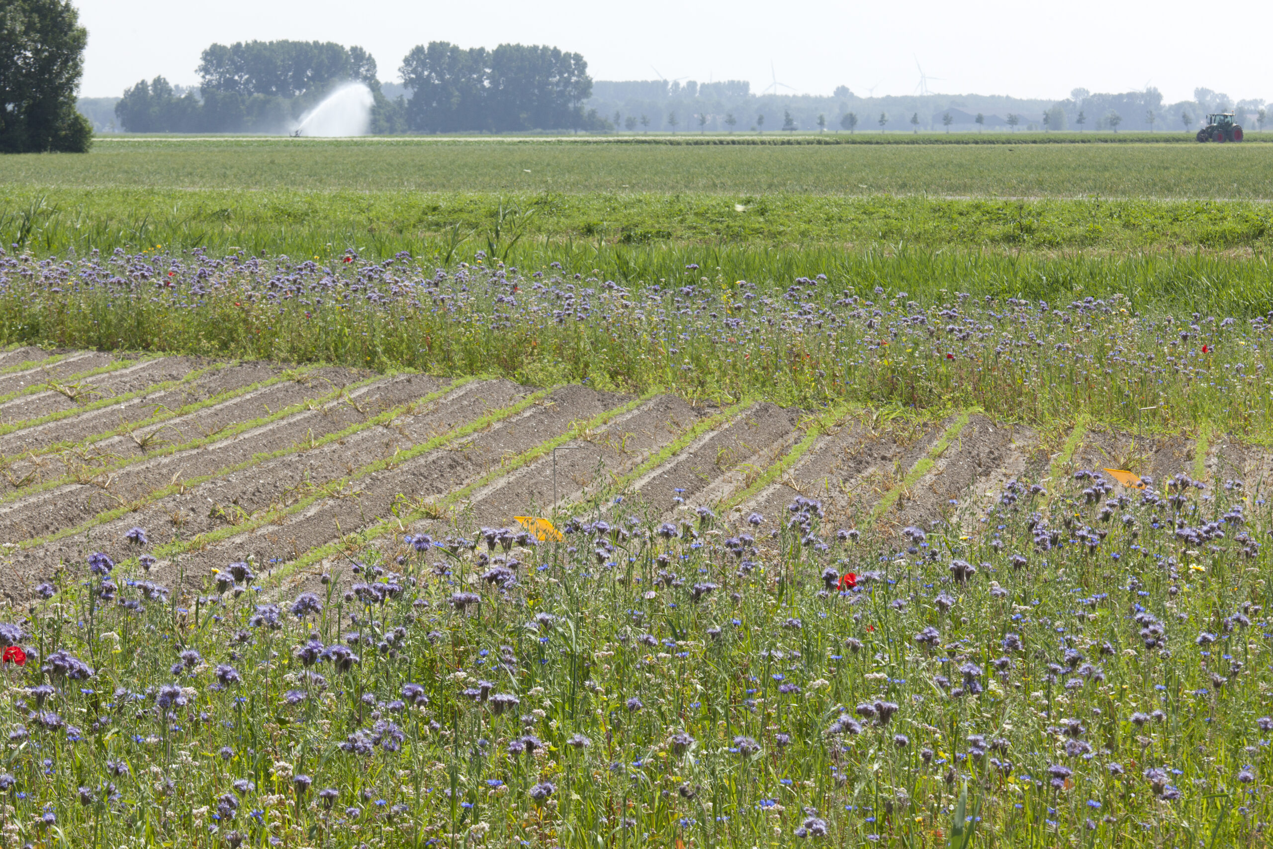 Akkerrand met drachtplanten in de polder
