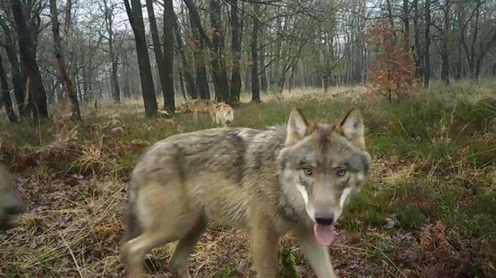 Een wolf op de Noord-Veluwe voor de wildcamera van de Zoogdiervereniging