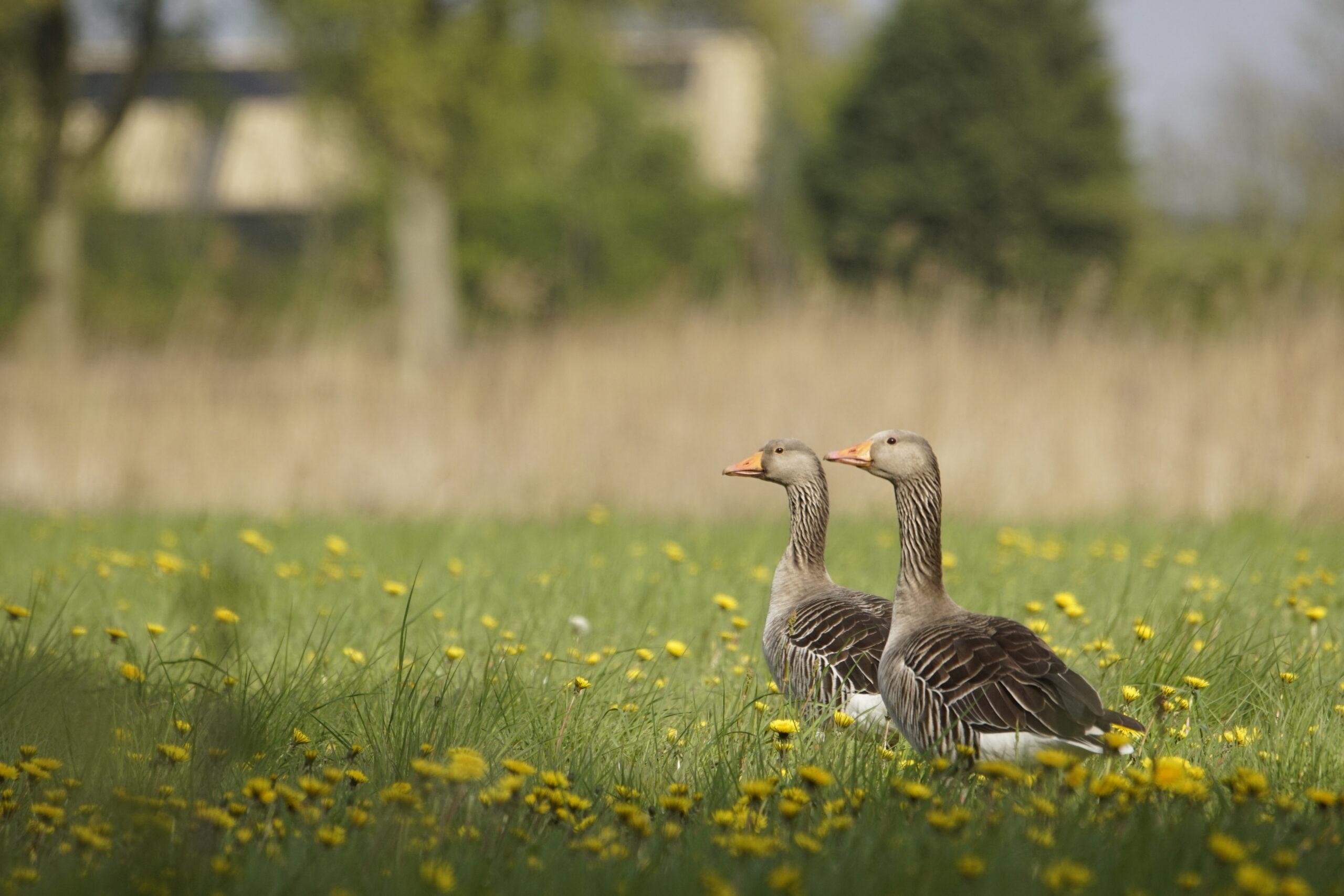Twee grauwe ganzen in het grasland