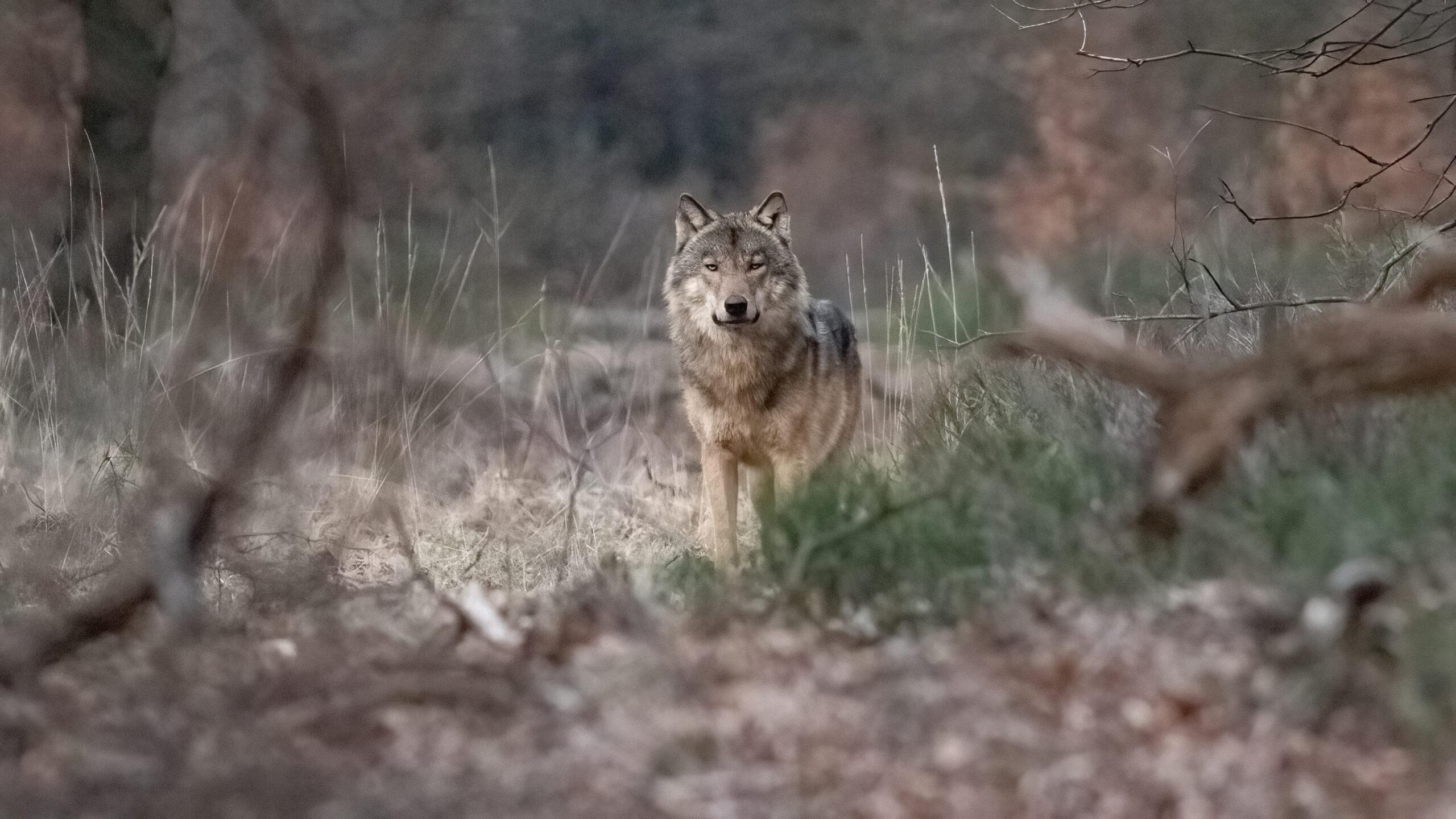 Een wolf op de Noord-Veluwe. De foto is gemaakt door fotograaf Jillis Roos