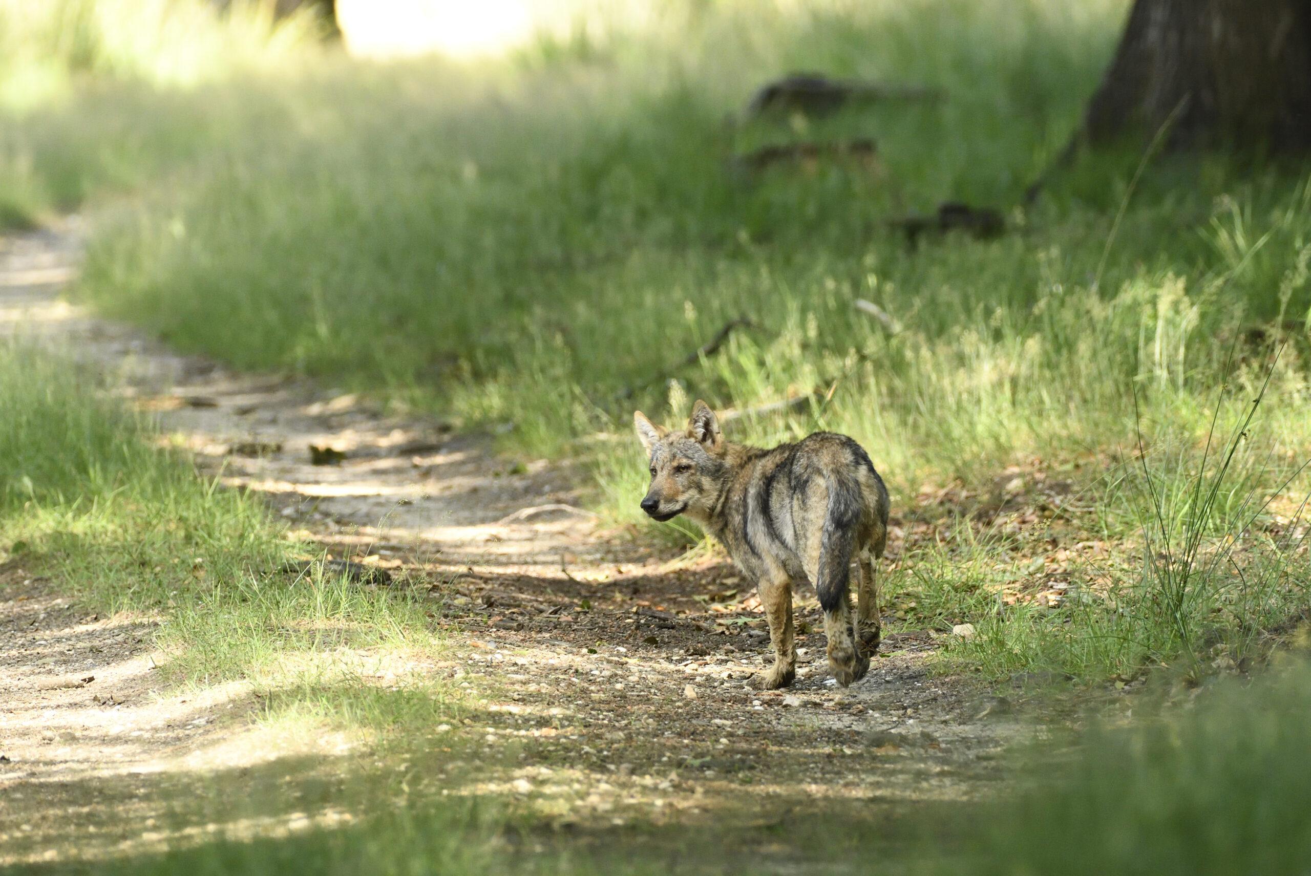 Afbeelding horend bij: Mogelijk nieuwe wolvenparen op de Veluwe
