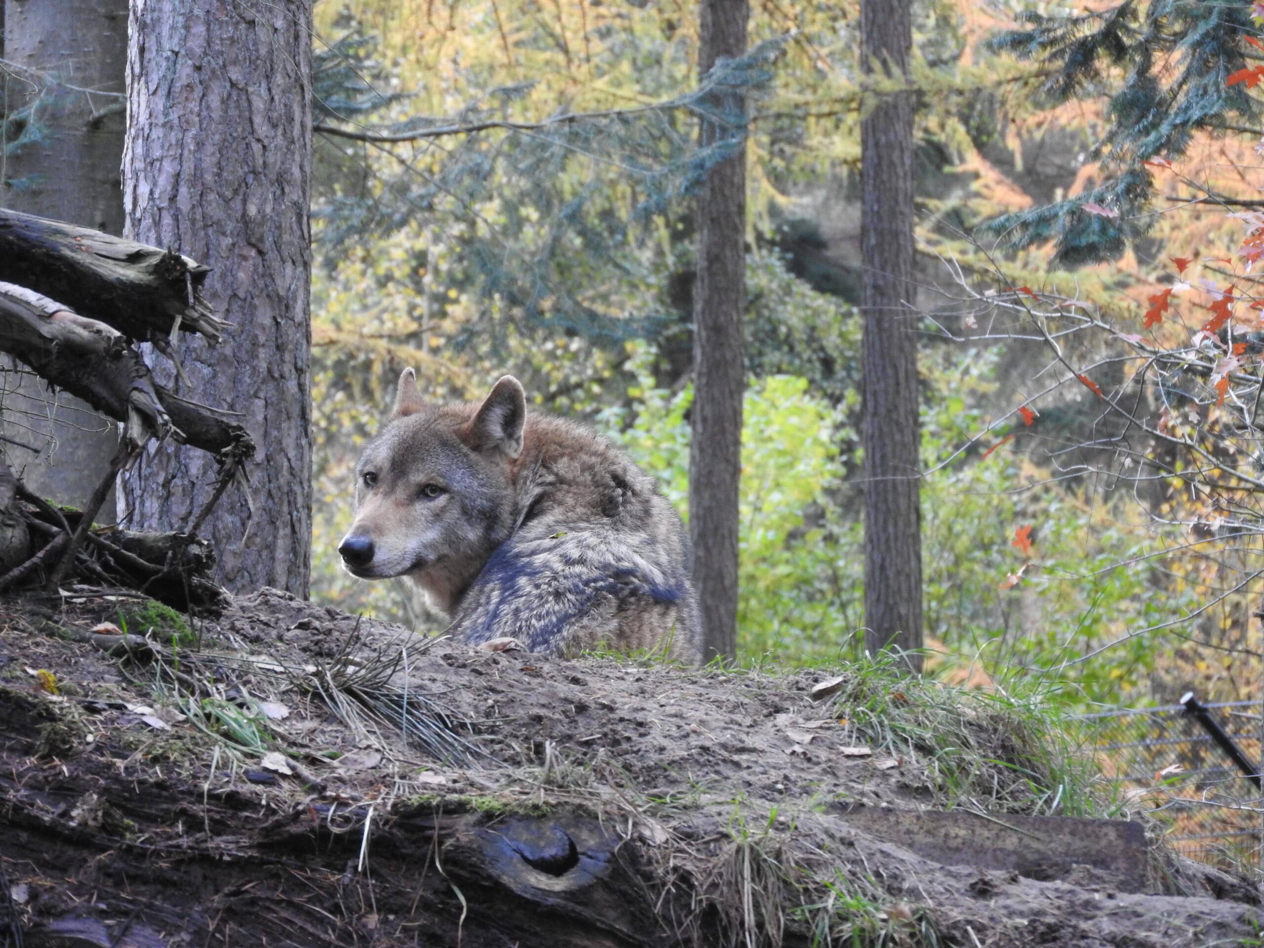 Afbeelding horend bij: Dode wolf gevonden in Stroe